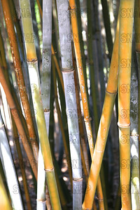 Tropical Blue Bamboo (Bambusa chungii), is also known as; Emperor's Blue Bamboo, White Bamboo, and White-Powder Bamboo is native to South China, at the Jacksonville Zoo and Gardens.