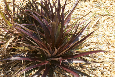 Cherry Coke Bromeliad (Dyckia 'Cherry Coke'); native to central Brazil, at the Jacksonville Zoo and Gardens.