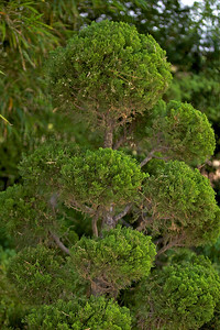 Torulosa or Hollywood Juniper (Juniperus chinensis 'Torulosa'); native to China, Mongolia & Japan, at the Jacksonville Zoo and Gardens.