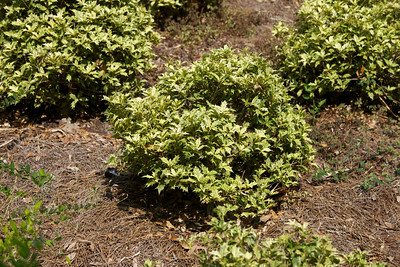 Variegated False Holly, Holly Osmanthus, Holly Olive, False Holly, Zhong Shu, Hiiragi; Hihiragi, or Goshiki Osmanthus (Osmanthus heterophyllus 'Goshiki'); native to Japan, at the Jacksonville Zoo and Gardens.
