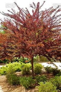 St. Luke's Plum, Purple Leaf Plum, Purple Leaf Cherry Plum, Cherry Plum (Prunus cerasifera 'St. Lukes'); native to Central Asia, at the Jacksonville Zoo and Gardens.