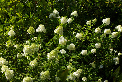 Limelight Hydrangea, Panicle Hydrangea, or Hydrangea (Hydrangea paniculata 'Limelight'); native to China and Japan, at the Jacksonville Zoo and Gardens.
