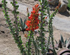 Ocotillo (Fonquieria splendens), in the neighborhood, 8 Jun 2007