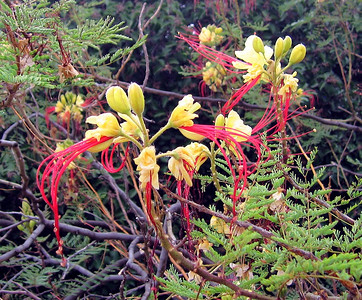 Poinciana (Caesalpinia pulcherrima), weighted down with dew, 28 May 2007