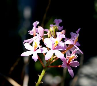Crucifix orchid (Epidendrum) in a private garden.  San Jose, Ca. 1 Jul 2008.