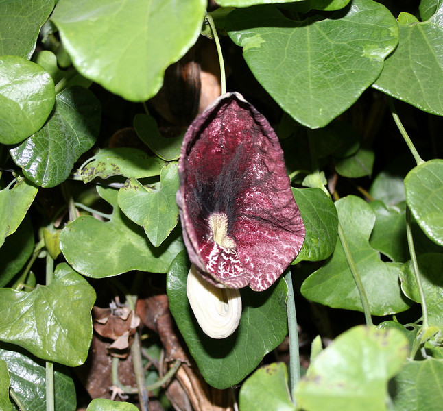 Dutchman's pipe (<i>Aristolochia elegans</i>), in a garden in Orange County, CA,  3 Jun 2009