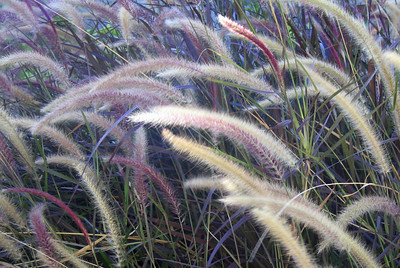 African Fountaingrass (Pennicetum cetaceum rubrum), Riverside, 24 Sep 2006