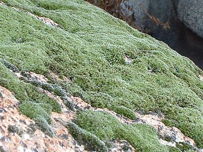 Moss. Lakeview Mountains, 11 Jan 2003