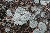 Crustose lichen, Homeland, 5 Jan 2008