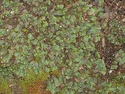 Liverwort (closeup). Lakeview Mountains, 11 Jan 2003