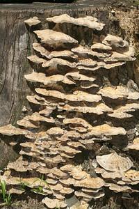 Alder Bracket; Alder Bracket Fungi; Common Adler (Inonotus radiatus).