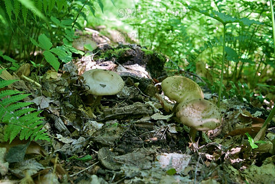 Shaggy Parasol (Chlorophyllum rhacodes).