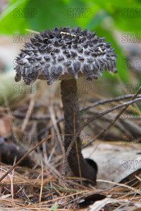 Old Man of the Woods (Strobilomyces strobilaceus).