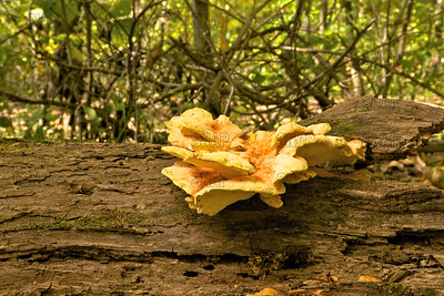 Chicken Of The Woods; Chicken Mushroom; Sulphur Polypore; Sulphur Shelf (Laetiporus sulphureus).