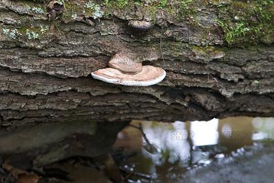 Bracket Fungus; Bracket Fungi; Artist's Bracket (Ganoderma applanatum).