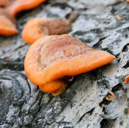 Cinnabar Polypore, Red Cap, Cinnabar-red Polypore (Pycnoporus cinnabarinus).