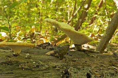 Dryad's Saddle; Pheasant's Back Mushroom (Polyporus squamosus).