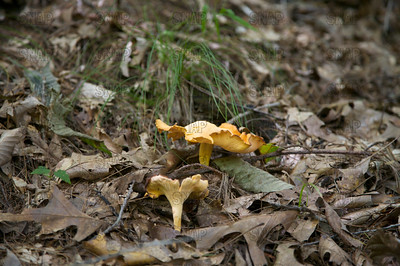 Chanterelle; Golden Chanterelle; Girolle; Yellow Chanterelle (Cantharellus cibarius).