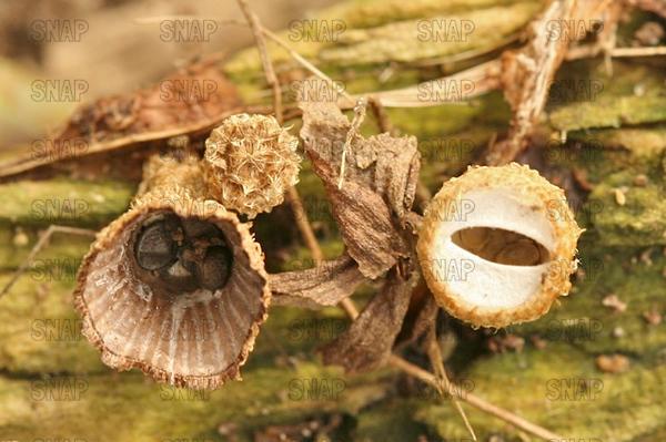 Striate Bird's Nest (Cyathus striatus)
