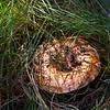 Saffron Milk Cap mushroom