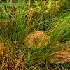 Saffron Milk Cap, Lactarius Deliciousus