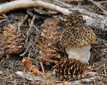 "Morel, Morchella snyderii (previously ""esculenta""), Wasco county, Oregon, 6-3-12. Slightly cropped image."