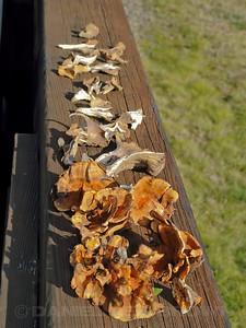 Misc. mushrooms, Sonoma Co, CA, 1-17-12. Slightly cropped image.