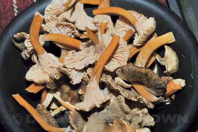 Chanterelle Mushrooms.  Sonoma Co, CA, 1-18-12. Slightly cropped image.