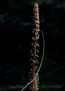 Pinedrops, El Dorado Co, CA, 7-6-13. Cropped image.