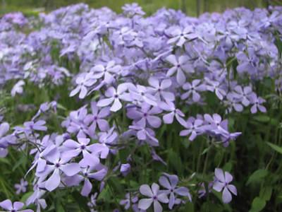 Phlox-divaricata-Wild-Blue-Phlox-flower