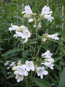 Penstemon digitalis 1