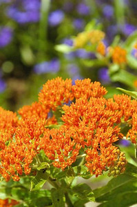 Asclepias tuberosa (Butterfly Weed) 2