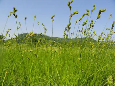 Carex brevior 1