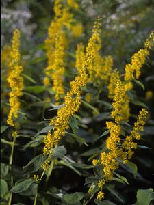 Solidago flexicaulis - Broad leafed goldenrod