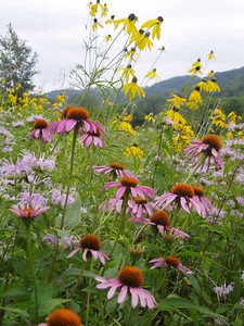Echinacea purpurea 1 (with Ratibida and Monarda)