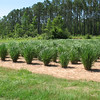 Evaluation of NPAT Switchgrass at the East Texas PMC.