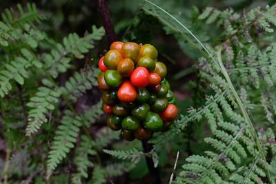 Devils Berry - Arum Lily (Arum maculatum).
