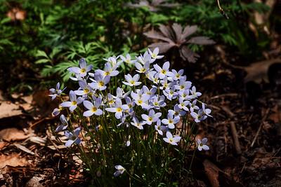 Houstonia caerulea - little bluet.