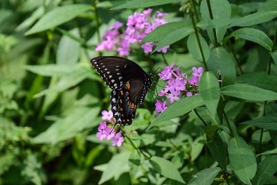 Black Swallowtail -  Papilio polyxenes.