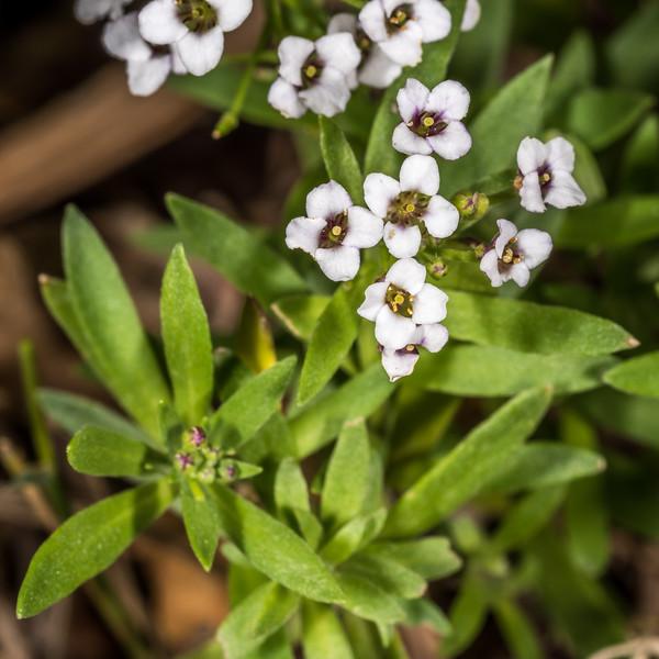 Alyssum (Lobularia maritima). Tomahawk Track, Dunedin.