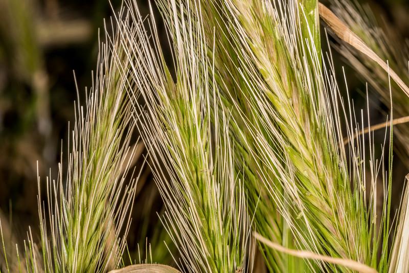 Barley grass (Critesion murinum). Heyward Point, Dunedin.