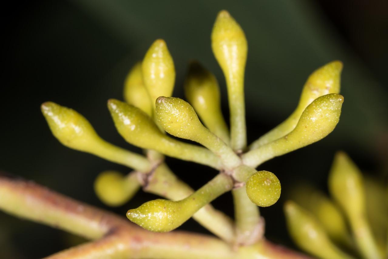 Blue gum (Eucalyptus globulus). Opoho, Dunedin.