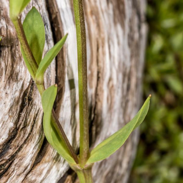 Bog stichwort (Stellaria alsine). Iris Burn, Kepler Track, Fiordland National Park.