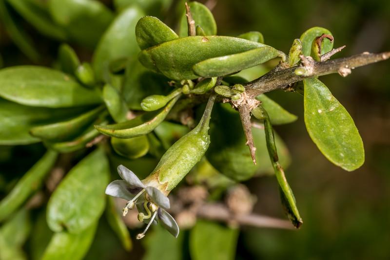 Boxthorn (Lycium ferocissimum) flower. Earthquakes, North Otago