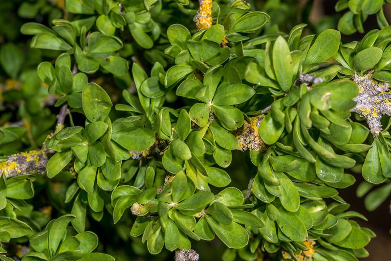 Boxthorn (Lycium ferocissimum). Earthquakes, North Otago