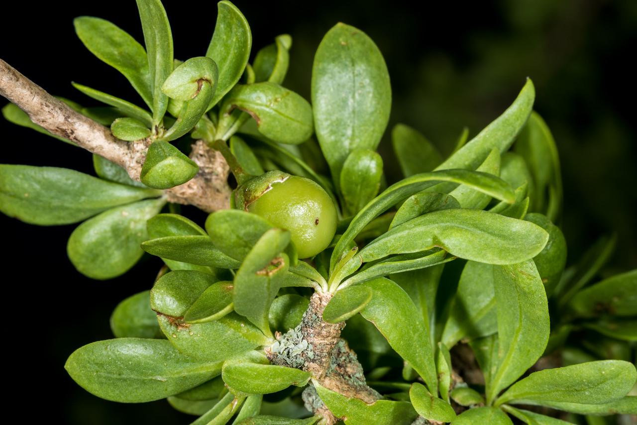 Boxthorn (Lycium ferocissimum) unripe fruit. Earthquakes, North Otago