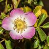 Briar (Rosa rubiginosa). Butchers Dam, Central Otago