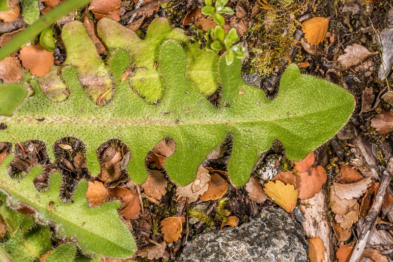 Common catsear (Hypochaeris radicata). Iris Burn, Kepler Track, Fiordland National Park.