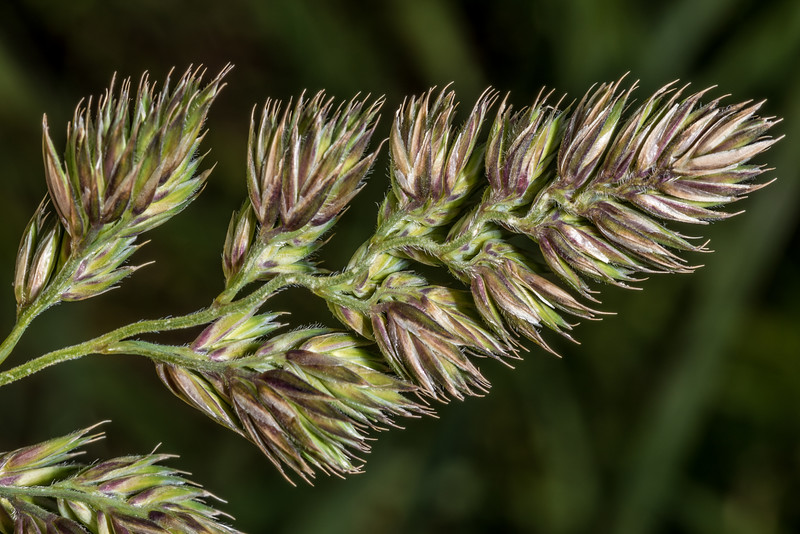 Cocksfoot grass (Dactylis glomerata) flower head. Tomahawk Track, Dunedin.