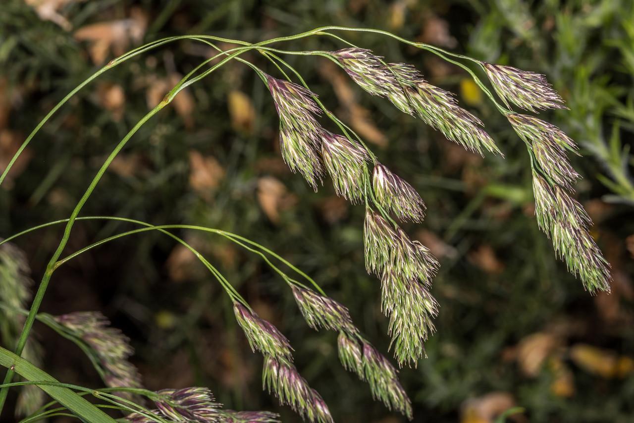 Cocksfoot grass (Dactylis glomerata). Tomahawk Track, Dunedin.